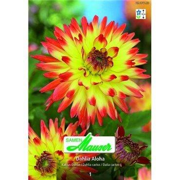Dahlia cactus Aloha (25174283)
