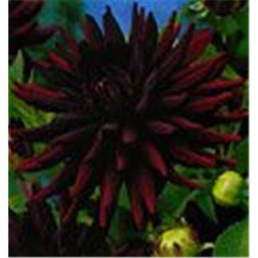 Dahlia cactus Chat noir (25175863)