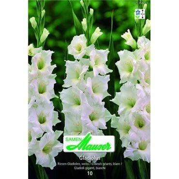 Riesen Gladiolen weiss (25254213)