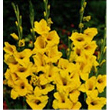 Glaïeuls géants jaune (25256623)