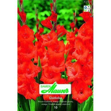 Gladiolen orange (25273043)