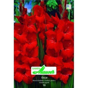 Gladiolen Oscar (25281063)