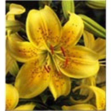 Lilien gelb (25038623)