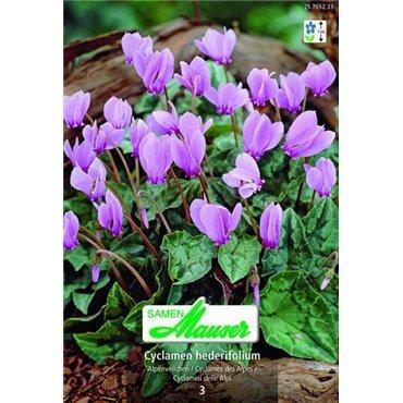Cyclamen hederifolium (25765233)