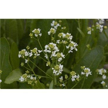 Armoracia rusticana ( Meerrettich )
