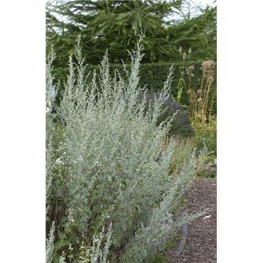 Artemisia absinthium ( Wermut )