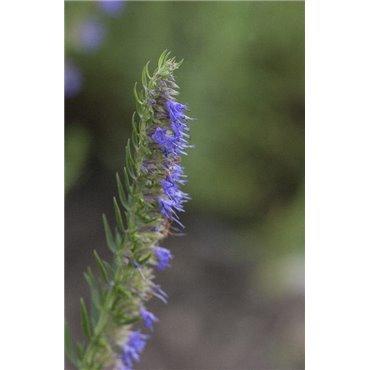 Hyssopus officinalis (hysope)