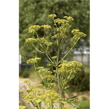 Levisticum officinalis (livéche)