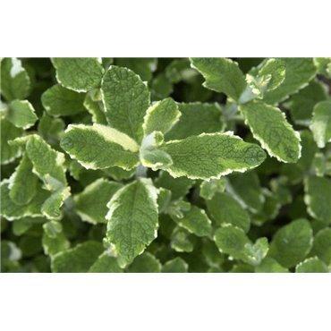 Mentha rotundifolia Variegata ( gemischte Apfelminze )