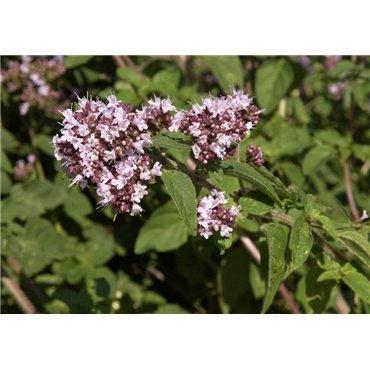 Origanum vulgare ( Majoran, Dost )