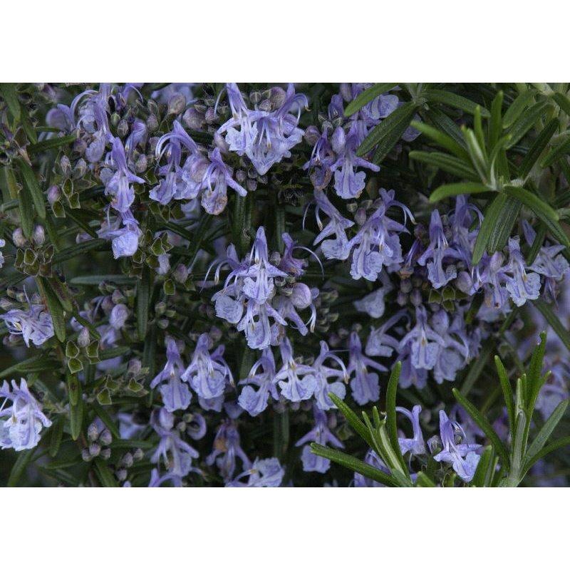 Rosmarinus officinalis ( Rosmarin )