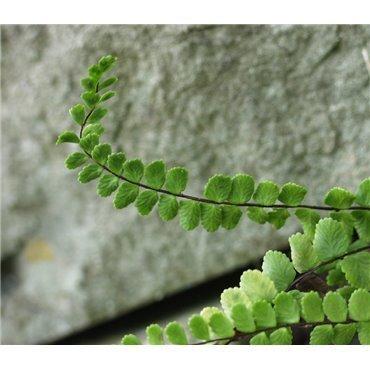 Asplenium trichomanes ( Braunstieliger Streifenfarn )
