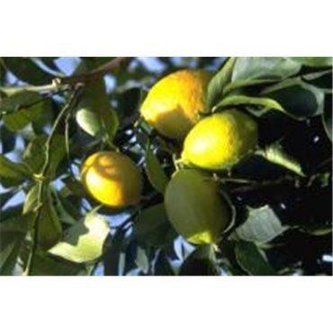 Citrus limonum (Citronier)