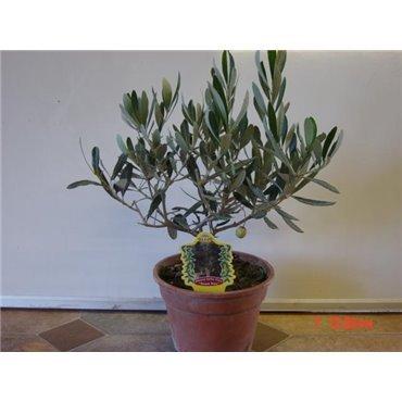 Olea europaea (Olivier, buisson)