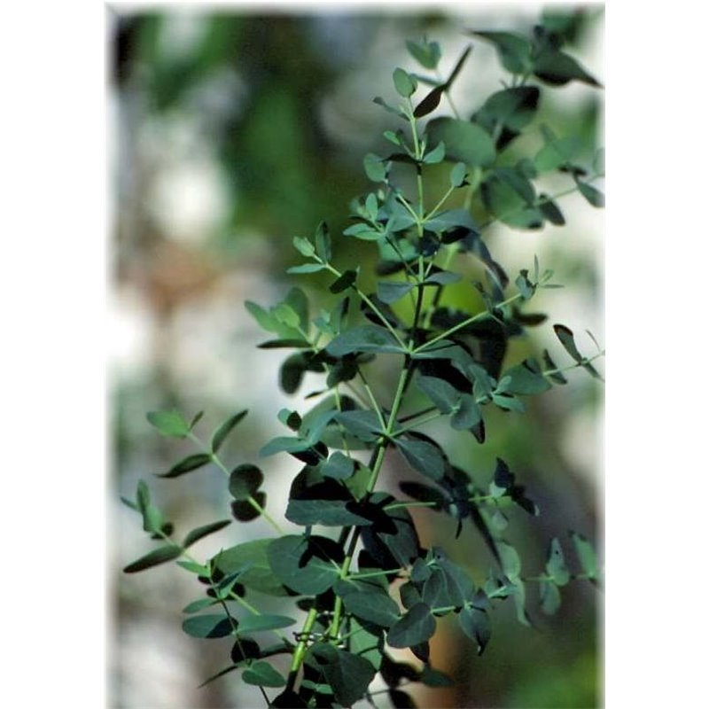 eukalyptus pflanze kaufen best eukalyptus agif with. Black Bedroom Furniture Sets. Home Design Ideas