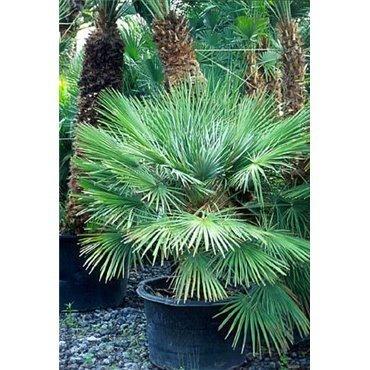 Chamaerops humilis (palmier nain)