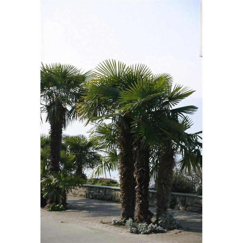 Trachycarpus fortunei (palmier à chanvre, tige)