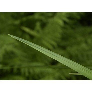 Acorus calamus ( Kalmus, grün )