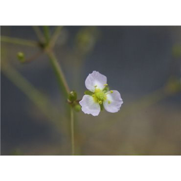 Alisma plantago-aquatica ( Froschlöffel )