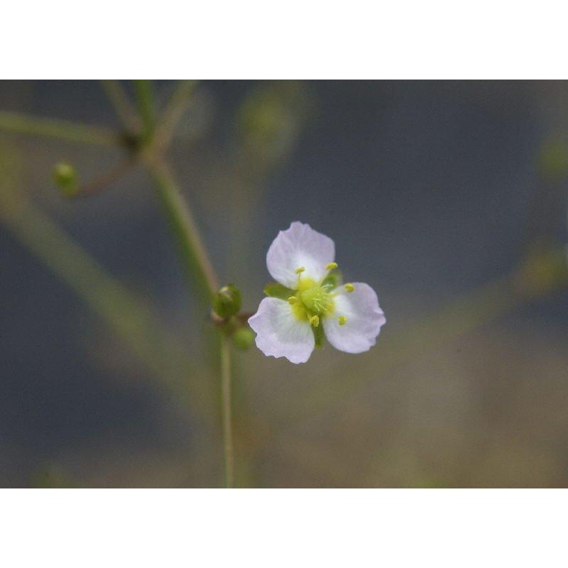 Alisma plantago-aquatica (Plantain d'eau)