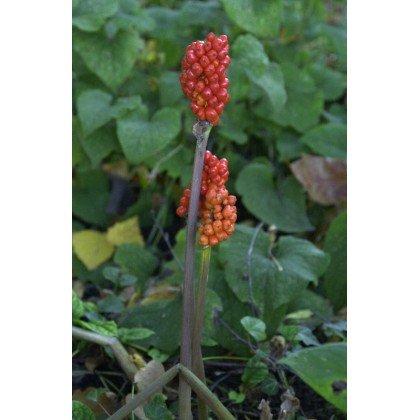 Arum italicum ( Aronstab )