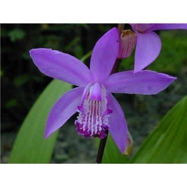 Bletilla striata ( Japanorchidee, chinesische Freilandorchidee )