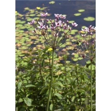 Butomus umbellatus ( Blumenbinse, Schwanenblume )