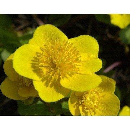 Caltha palustris (Populage, jaune)