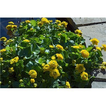 Caltha palustris Plena (Populage, jaune double)