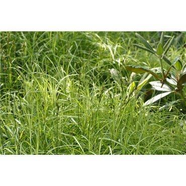 Carex muskingumensis ( Palmblattsegge )