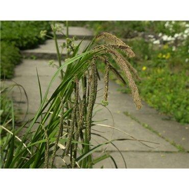 Carex pendula ( Hängesegge )