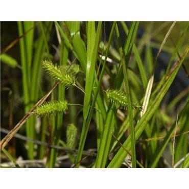 Carex pseudocyperus (Laîche Faux-Souchet)