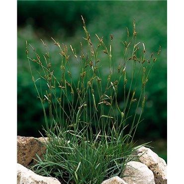 Carex vulgaris ( Braunsegge )