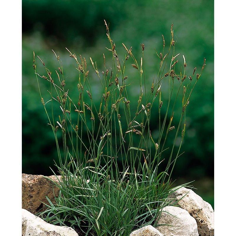 Carex vulgaris (Laîche des rives)