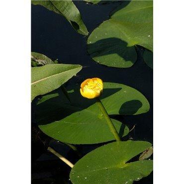 Nuphar lutea ( gelbe Teichrose, gelbe Teichmummel )