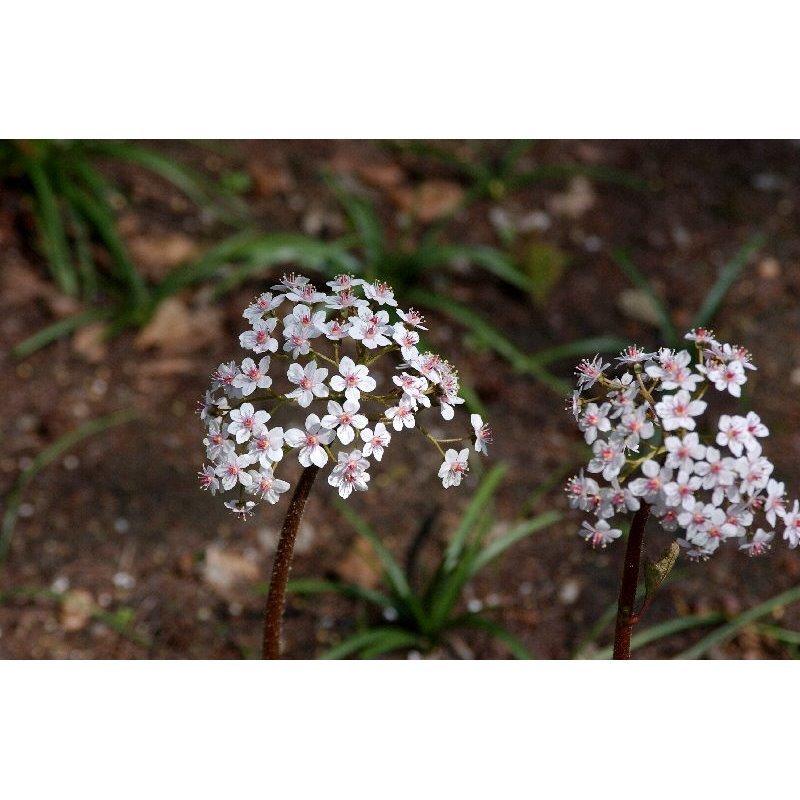 Darmera peltata (Darméria, Peltiphyllum)