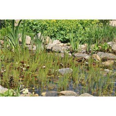 Hippuris vulgaris (Hippuries, Pesse d'eau)