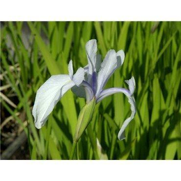 Iris laevigata ( japanische Schwertlilie )