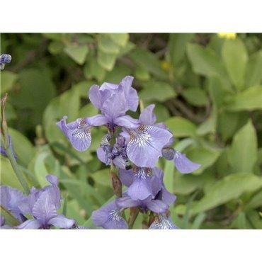 "Iris sibirica "" Perrys Blue""  ( sibirische Schwertlilie, himmelblau )"