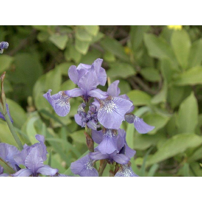 "Iris sibirica "" Perrys Blue"" (Iris, bleu ciel)"