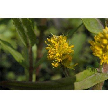 Lysimachia thyrsiflora (Lysimaque, jaune)