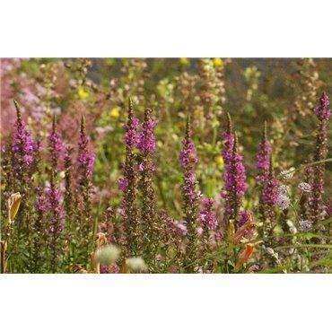 "Lythrum salicaria "" Robert "" (Salicaire, rouge)"