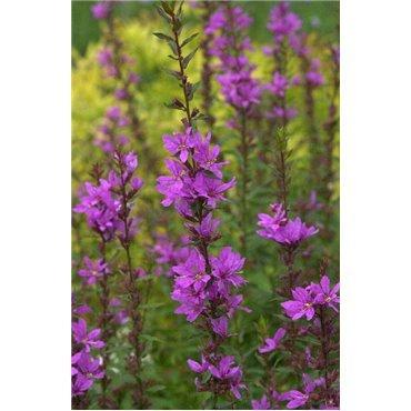 "Lythrum  virgatum "" Dropmore Purple ""( Weiderich, purpur )"