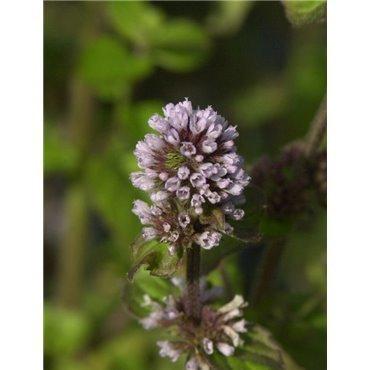 Mentha aquatica (Menthe aquatique, lilas)