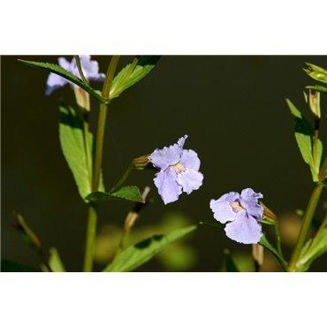 Mimulus ringens ( Gauklerblume, blauviolett )