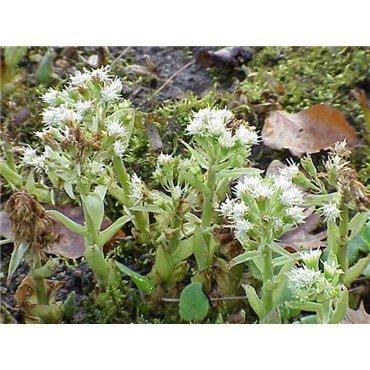 Petasites albus (Petasite, blanc)