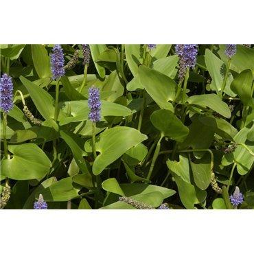 Pontederia cordata (Pontédérie, bleu)