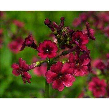 """Primula japonica"""" Miller's Crimson"""" (Primevère des marais, rouge carmin)"""