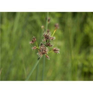 Scirpus lacustris ( Teichbinse, dunkelgrün )