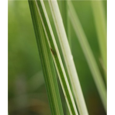 """Scirpus lacustris """" Albescens""""(Jonc des Tonneliers, Scirpe, strié de vert blanc)"""